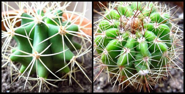Cactus - Succulent